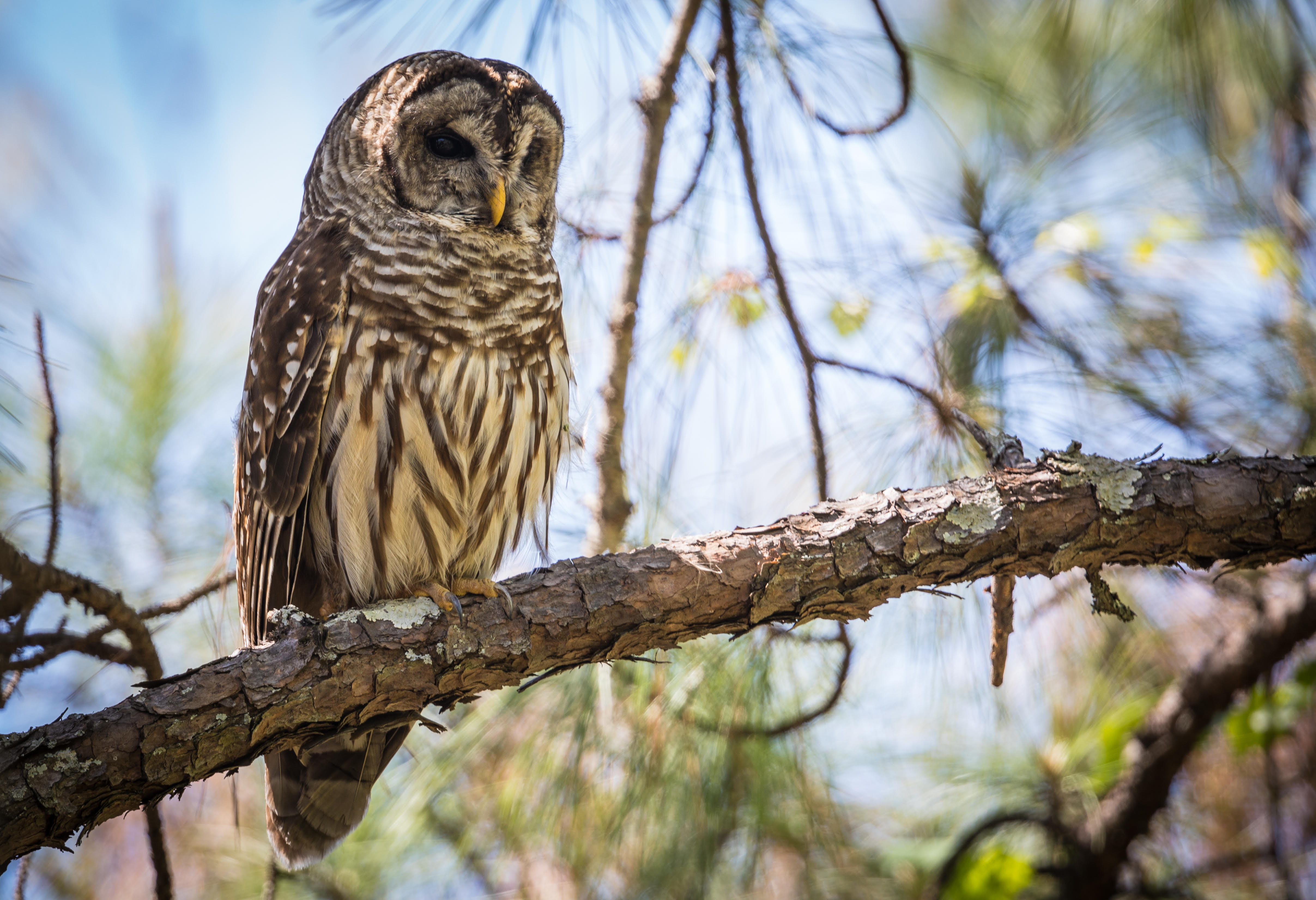 Barred Owl in Riverchase