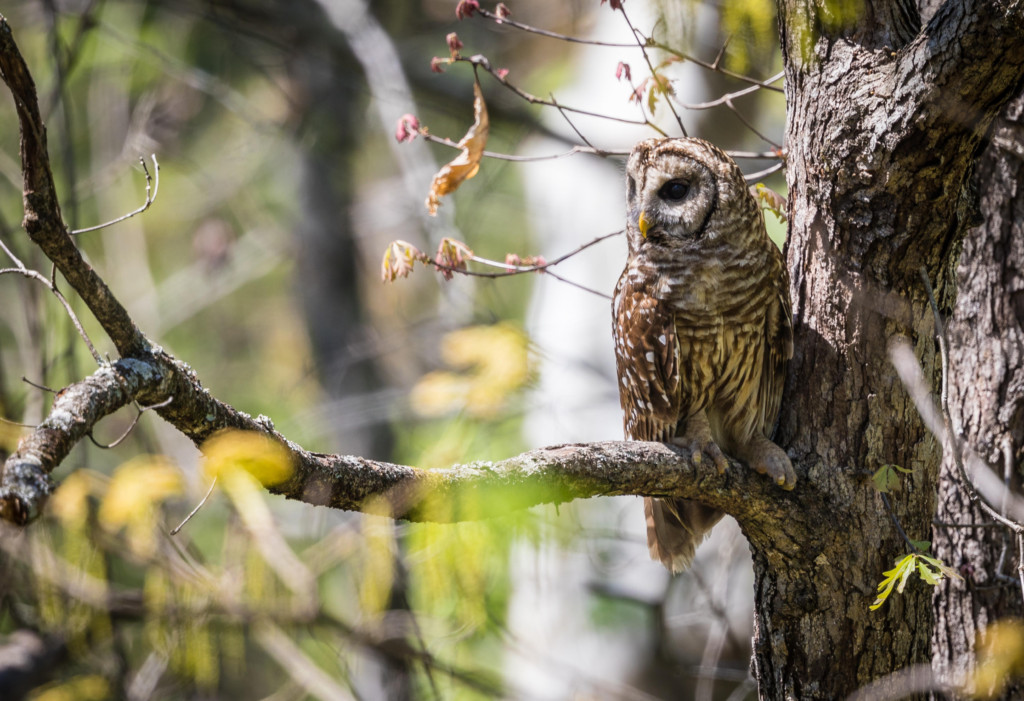 "Lindsey Donald's photo of ""Hoomama""-- a female Barred Owl in Riverchase"